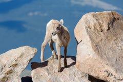 Le Colorado Rocky Mountain Bighorn Sheep Photos stock