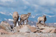 Le Colorado Rocky Mountain Bighorn Sheep Photo stock