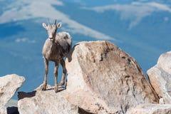 Le Colorado Rocky Mountain Bighorn Sheep Photos libres de droits