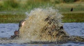 Le combat de l'hippopotame, se levant du profond ! photo stock