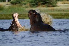 Le combat de l'hippopotame, se levant du profond ! photo libre de droits