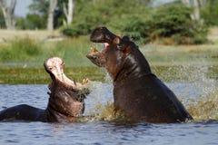 Le combat de l'hippopotame, se levant du profond ! image libre de droits