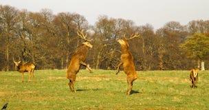 Le combat des cerfs communs Photos libres de droits