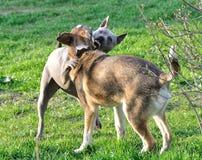 Le combat des chiens image stock