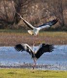 Le combat des cigognes blanches Photos libres de droits