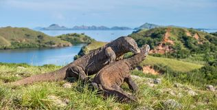 Le combat des dragons de Komodo Image stock