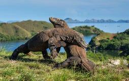 Le combat des dragons de Komodo pour la domination photographie stock libre de droits