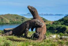 Le combat des dragons de Komodo pour la domination image libre de droits