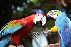 Le combat des perroquets Bataille des perroquets d'ara Couleur deux parakeet images stock