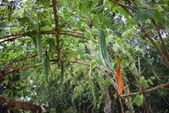 Le complot végétal de courgette se développe prêt à aller faire cuire images stock