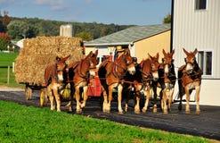 Le comté de Lancaster, PA : Agriculteur amish avec des ânes Photographie stock libre de droits