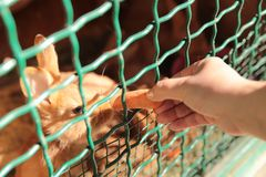 Le concept de la nature Tir cultivé d'un lapin alimentant une carotte images stock