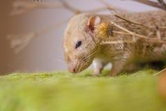 Le concept de la tristesse Le rat regarde tristement vers le bas image stock