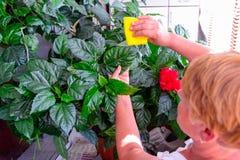 Le concept de ménage de prend soin des usines d'intérieur La femelle adulte remet à des chiffons un chiffon qu'une ketmie de flor photos libres de droits