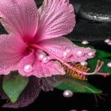 Le concept de station thermale de la ketmie rose fleurissent sur la feuille verte avec des baisses dessus Images libres de droits