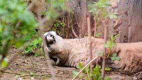 Le concolor de puma dort sur l'herbe une journée de printemps images libres de droits