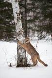 Le concolor femelle de puma de puma griffe sur l'arbre Image stock