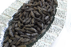 Le concombre de mer Image libre de droits