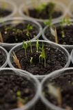 Le concombre organique pousse en terre comme fond photos stock
