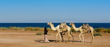 Le conducteur mène un troupeau de trois chameaux le long de la côte photographie stock
