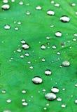 Le congé et les gouttes de pluie de lotus Photos libres de droits