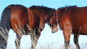 Le contact de deux chevaux et communiquent sur un pâturage de montagne banque de vidéos