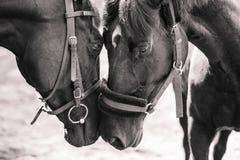 Le contact de deux chevaux se flaire Image libre de droits