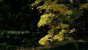 Le contexte de chute avec balancer l'arbre jaune lumineux laisse le plan rapproché Fusée de Sun Mouvement lent clips vidéos