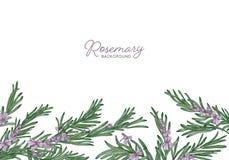 Le contexte de fines herbes horizontal décoré des brins de romarin en bas affilent Beau fond avec la frontière faite de Image libre de droits
