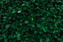 Le contexte du vert laisse le mur naturel images libres de droits