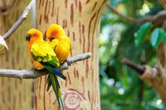 Le conure de perruche du soleil ou de soleil est un moyen, vibrant colo Images libres de droits