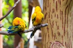 Le conure de perruche du soleil ou de soleil est un moyen, vibrant colo Image libre de droits