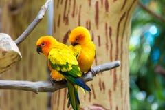 Le conure de perruche du soleil ou de soleil est un moyen, vibrant colo Photo libre de droits