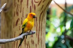 Le conure de perruche du soleil ou de soleil est un moyen, vibrant colo Photographie stock