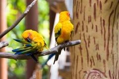 Le conure de perruche du soleil ou de soleil est un moyen, vibrant colo Images stock