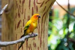 Le conure de perruche du soleil ou de soleil est un moyen, vibrant colo Photos stock