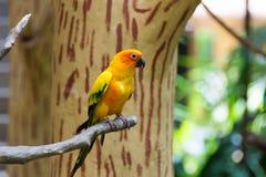 Le conure de perruche du soleil ou de soleil est un moyen, vibrant colo Photographie stock libre de droits