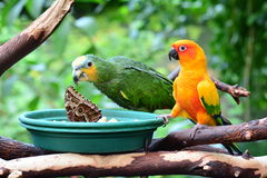 Le conure de Sun et une orange d'Amazone wingtipped le perroquet Photographie stock
