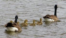 Le convoi de famille d'oies Photographie stock libre de droits