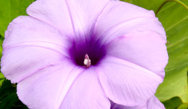 Le convolvule fleurit le petit, mince pourpre images libres de droits