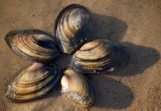 Le coperture del mollusco sulla sabbia all'acqua orlano Fotografie Stock