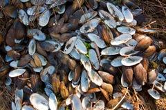Le coperture vuote dei molluschi bivalve formano un modello, trovantesi sulla terra, mattina soleggiata della molla in anticipo,  immagini stock