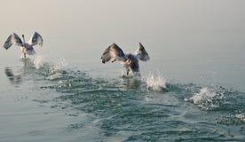 Le coppie del cigno hanno riflesso nell'acqua del Balaton mentre decollavano fotografia stock libera da diritti