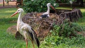 Le coppie delle cicogne bianche [ciconia di Ciconia] in nido con una cicogna si siedono sulle uova Immagini Stock Libere da Diritti