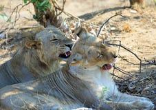 Le coppie i leoni che riposano dopo l'accoppiamento, entrambi stanno ringhiando con le bocche aperte, parco nazionale del sud di  Immagine Stock Libera da Diritti
