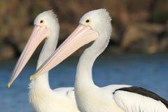 Le coppie i pellicani australiani (conspicillatus del Pelecanus) hanno messo contro un'insenatura Fotografie Stock Libere da Diritti