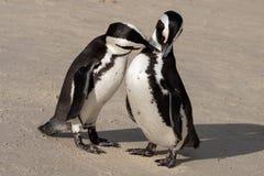 Le coppie i pinguini africani che interagiscono sulla sabbia ai massi tirano a Cape Town, Sudafrica fotografia stock