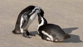 Le coppie i pinguini africani che interagiscono sulla sabbia ai massi tirano a Cape Town, Sudafrica immagine stock
