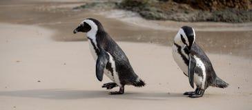 Le coppie i pinguini africani sulla sabbia ai massi tirano a Cape Town, Sudafrica fotografie stock libere da diritti