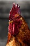 Le coq Photographie stock